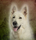 Close-up of a White Swiss Shepherd Dog Royalty Free Stock Image