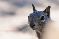 White-Tailed Antilope Squirrel Stock Photo