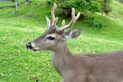 Close up of a white tailed deer stock photos