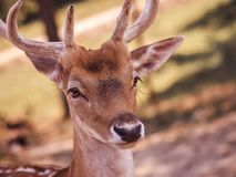 Close-up of a white-tailed doe royalty free stock images