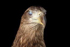 Close-up White-tailed eagle, Birds of prey isolated on Black background stock photography