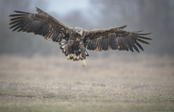A close up white tailed eagle in flight Stock Image