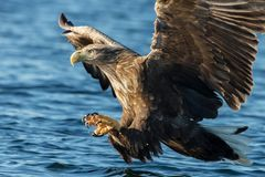 White-tailed sea Eagle in flight with the powerful claws catching a fish. Close-up of White-tailed sea Eagle Haliaeetus albicilla in flight with the powerful stock photography