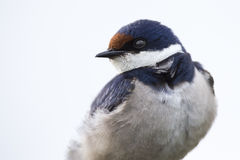 Close-up of a white-throated swallow sit on wood perch Hirundo Stock Images