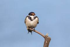 Close-up of a white-throated swallow sitting on wood perch Royalty Free Stock Image