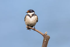 Close-up of a white-throated swallow sitting on wood perch Stock Photo