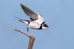 Close-up of a white-throated swallow take off from wood perch Royalty Free Stock Photos