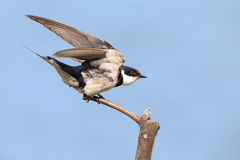 Close-up of a white-throated swallow take off from wood perch Royalty Free Stock Photo