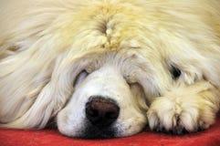 Sleeping tibetan Mastiff Royalty Free Stock Photos