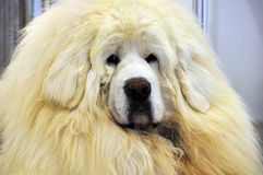White Tibetan Mastiff Stock Photo