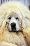 White Tibetan Mastiff. Close-up of white tibetan Mastiff royalty free stock photos