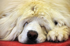 Sleeping tibetan Mastiff Royalty Free Stock Photos