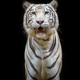 Close up white tiger. Royalty Free Stock Photography