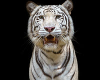 Close up white tiger Royalty Free Stock Photo