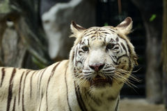 Close up white tiger Stock Photography