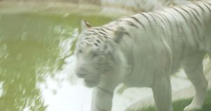 A white Bengal tiger. Close-up of a white tiger stock video
