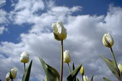 Close up of white tulip flowers stock image