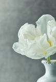 White Tulip Stock Photo