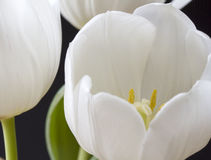 Close up white tulips Royalty Free Stock Image
