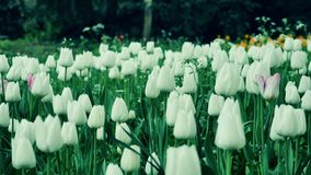 Close up of White tulips in a field. The camera moves back on the slider. Color correction. Close up of White tulips in a field stock video