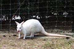Close up of White wallaby or medium-sized kangaroo.  Stock Image