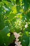 Close up of white wine grapes. On a vine Stock Photo