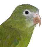 Close-up of White-winged Parakeet, Brotogeris Stock Image