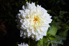 Close up white and yellow dahlia flower growing outdoors royalty free stock images