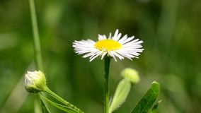Close-up of white and yellow daisy flower trembling in breeze stock footage