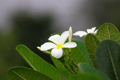 Close up of white and yellow frangipani flowers with green leave Royalty Free Stock Image