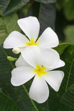 Close up of white and yellow frangipani flowers with green leave Royalty Free Stock Images