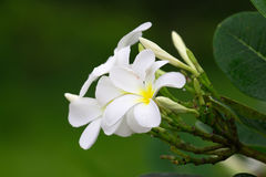 Close up of white and yellow frangipani flowers with green leave Royalty Free Stock Photos