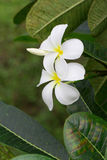Close up of white and yellow frangipani flowers with green leave Stock Photo