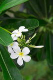 Close up of white and yellow frangipani flowers with green leave Stock Image