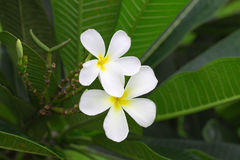 Close up of white and yellow frangipani flowers with green leave. S in background Stock Photography