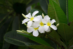Close up of white and yellow frangipani flowers with green leave. S in background Royalty Free Stock Images