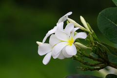 Close up of white and yellow frangipani flowers with green leave. S in background Stock Images