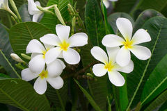 Close up of white and yellow frangipani flowers with green leave. S in background Royalty Free Stock Photos