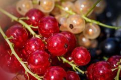 Close up white or yellow, red,  black  raw currant Stock Photography