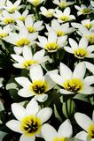 Close-up of white and yellow tulips. At Keukenhof flower show, Holland Royalty Free Stock Photos