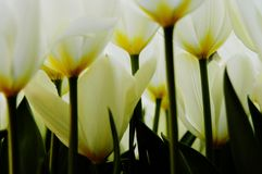 Close-up of white and yellow tulips. Macro close-up of white and yellow tulips at Keukenhof flower show, Holland Royalty Free Stock Photo