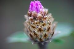 Close up of the whitewash cornflower bud Royalty Free Stock Image