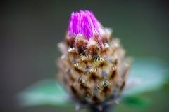 Close up of the whitewash cornflower bud Royalty Free Stock Photography