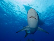 Silky sharks under boat in clear blue water Stock Images