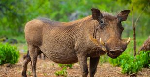 Close up of a wild African Warthog stock image