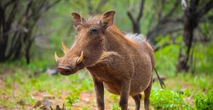 Close up of a wild African Warthog. In a South African game reserve stock photos