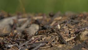 Close-up wild ants swarming around their anthills. Anthill in the forest among the dry leaves.Insects working emmet. Running around near the hole in the ground stock photos
