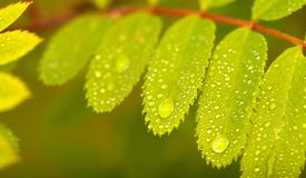Close-up of wild ash leaf after rain. In summer royalty free stock photo