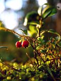 Wild berries. A close up of Wild berries Stock Photos