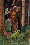 A brown bear in the forest. Big Brown Bear. Bear sits on a rock. Ursus arctos. Close up wild, big Brown Bear, Ursus arctos, male on the bank of lake, staring stock photography